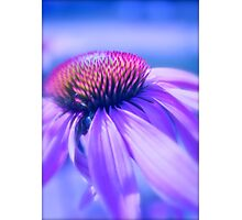 Cone Flower in Pastel Photographic Print