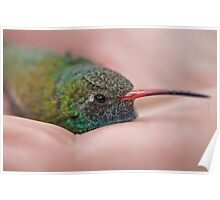Cradled Broadbilled Hummingbird  Poster