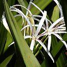Hidden Swamp Lilys by Rosalie Scanlon