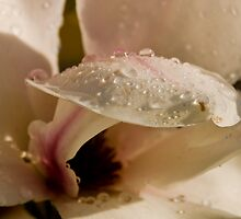 Magnolia After Rain by David Friederich