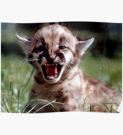 Mountain Lion cub Poster