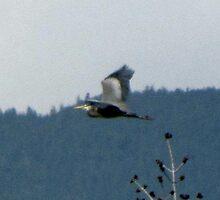 Great Blue Heron in Flight Longmont Colorado by janetmarston