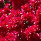 Begonia Flowers by AravindTeki