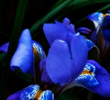 Iridescent Iris Sticker