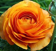 Orange flower by Dipali S