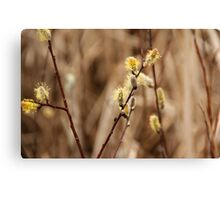 Pussy Willows - Catkins Canvas Print