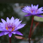 Water Lilies - a symbol of peace, grace, and serenity by Rick Fin