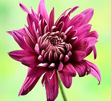 Purple chrysanthemum by Dipali S