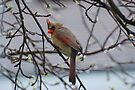 Female Cardinal by Lynda  McDonald
