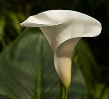 cala lily by marianne troia