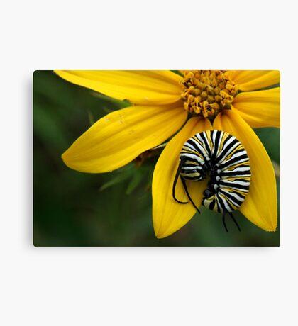 Caterpillar Nap Canvas Print