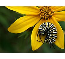 Caterpillar Nap Photographic Print