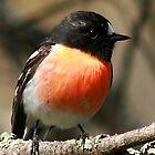 Scarlet Breasted Robin by Jennie Liebich