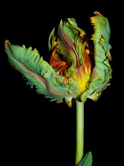 Parrot Tulip Rococo  by Jenni77