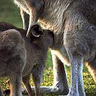 Baby Kangaroo by MartineDF