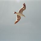 Flight of a Gull! by Kymbo