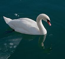 Swan in Icy Water by Gerda Grice