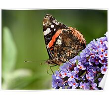 Red Admiral Feeding Poster