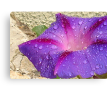 Purple Ipomoea With Raindrops and Stone Background Canvas Print