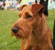 Super Irish Terrier