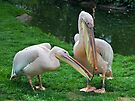 Domestic Bliss (Eastern White Pelicans) by Krys Bailey