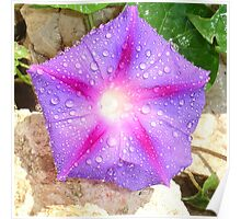 Star Shaped Morning Glory With Glistening Water  Poster