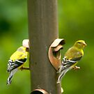 Mr aqnd Mrs Goldfinch by Berk Nash