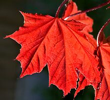 Acer in Red by Geoff Carpenter
