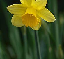 Wild daffodil, yellow by Arve Bettum