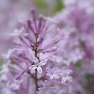 Lilac essence by i l d i    l a z a r