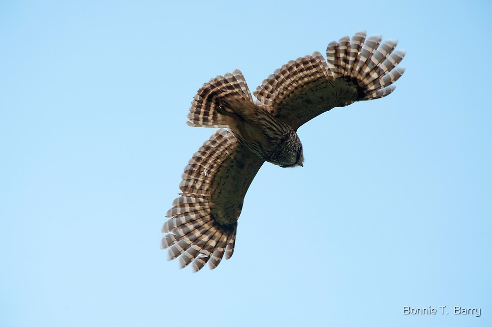 Barred Owl in Flight by Bonnie T.  Barry