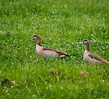 Pair of Egyptian Geese by RatManDude