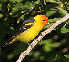 Western Tanager by tomryan