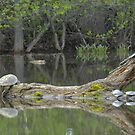 Snapping turtle lazing in the sun by gregsmith