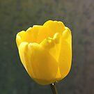 A tulip. by naranzaria
