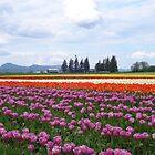 Tulip Farm by Dorthy Ottaway