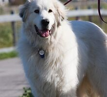Well-trained Great Pyrenean Mountain Dog by welovethedogs