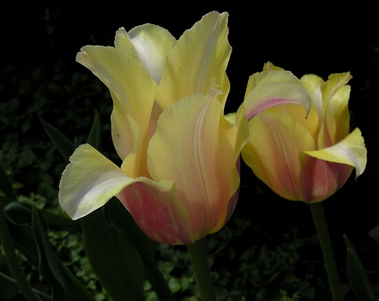 tulip magic by 1busymom