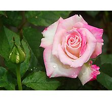 Rose and buddy Photographic Print