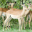 Impala Pair by Vickie Burt