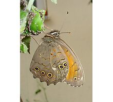 Meadow Brown Butterfly Feeding On Aphids Photographic Print