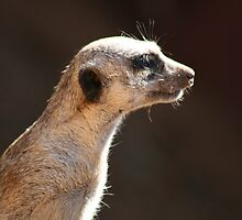 Meerkat manor by helenrose
