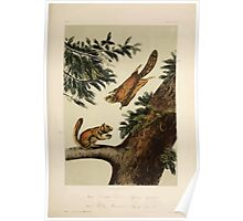 James Audubon - Quadrupeds of North America V3 1851-1854  Seven River Flying Squirrel and Rocky Mountain Flying Squirrel Poster