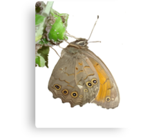 Meadow Brown Butterfly Feeding On Aphids Canvas Print