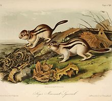James Audubon - Quadrupeds of North America V3 1851-1854  Jay's Marmot Squirrel by wetdryvac
