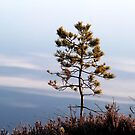 25.4.2015: Pine Tree and Cloud Reflection by Petri Volanen