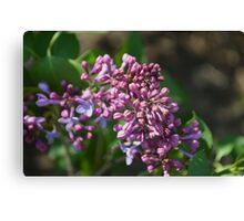 Lilac Blossom 1 Canvas Print