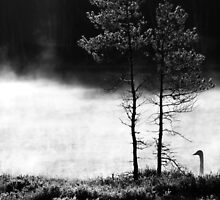 25.4.2015: Swan at Pond I by Petri Volanen