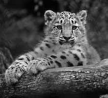 Cub in Black and White 6 by DanielTMiller