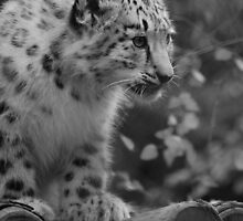 Cub in Black and White 8 by DanielTMiller